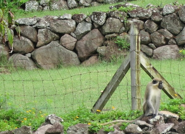 Carefree wild monkeys cavort on Nevis.