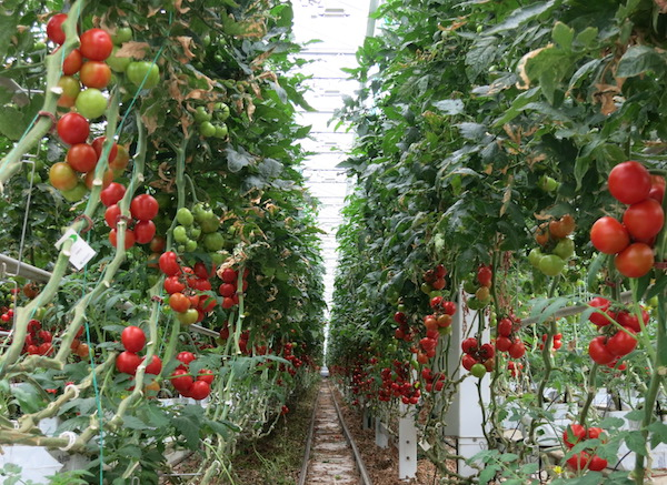 Mighty Vine Rows and Rows of Tomatoes