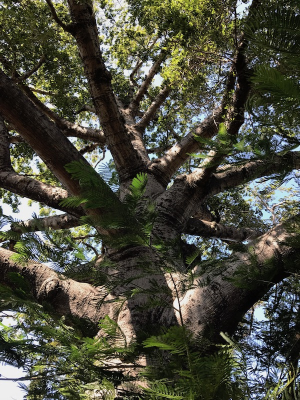 Ancient Trinidad Tree
