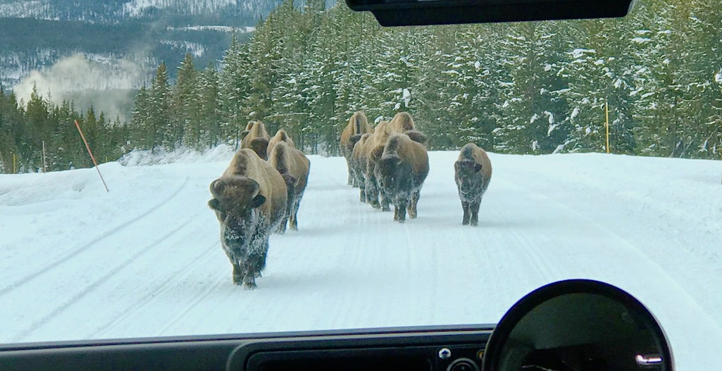 Bison sharing the road in Yellowstone