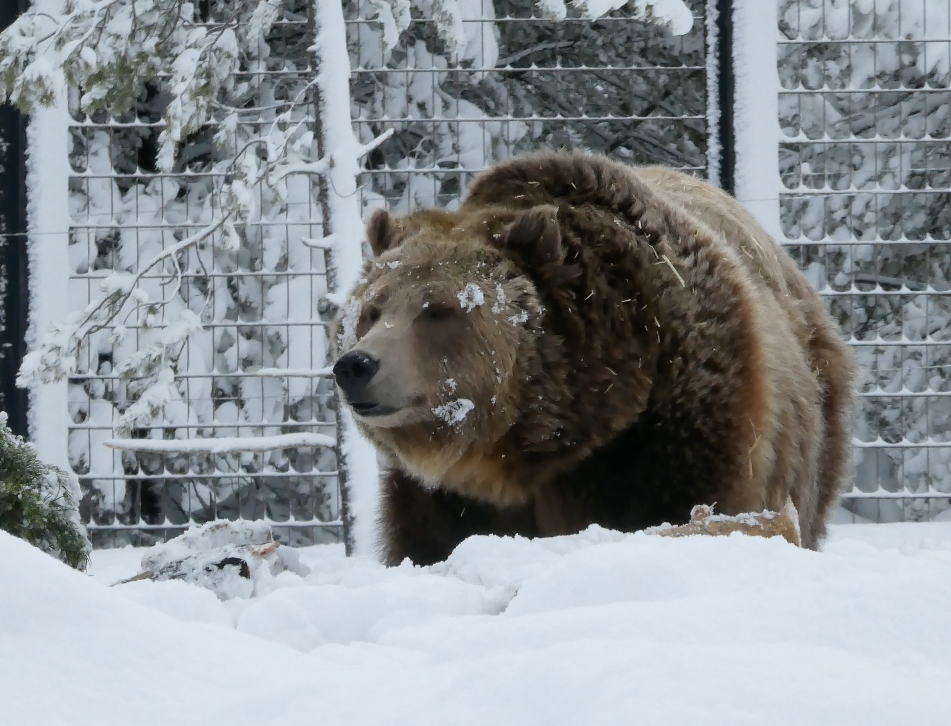 Grizzly Bear at the Grizzly and Wolf Discovery Center West Yellowstone